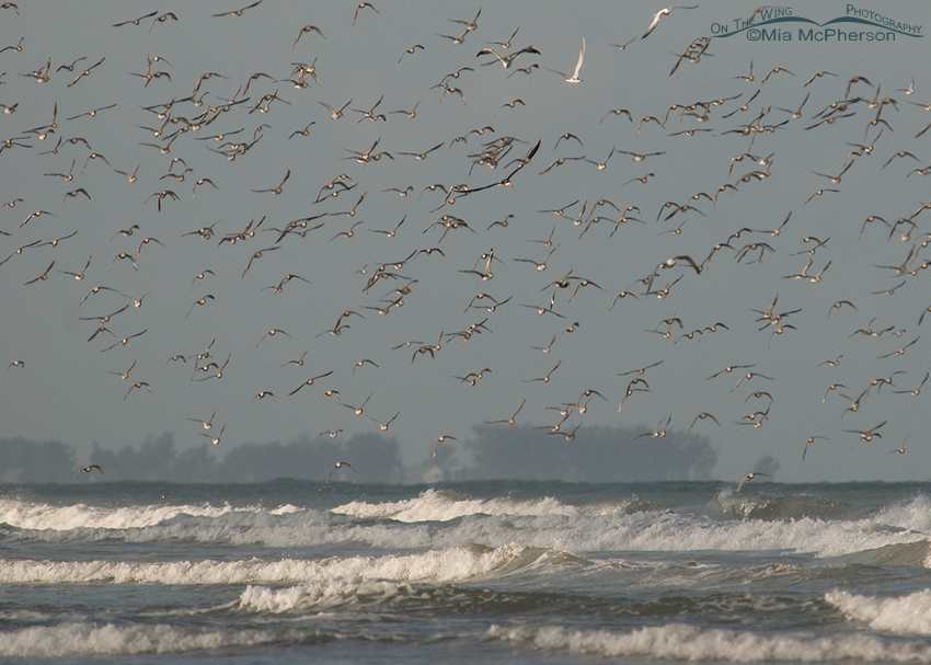 Mixed flock flying in strong winds
