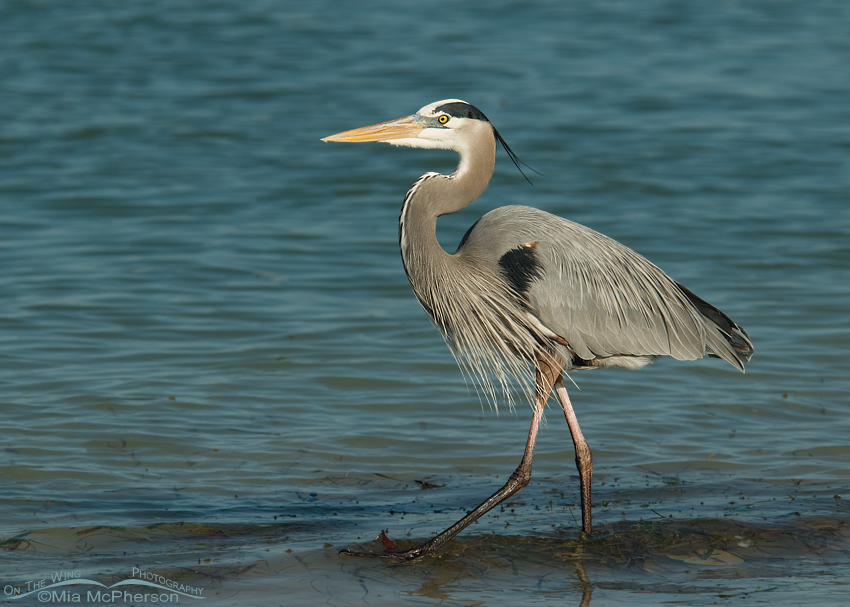 Great Blue Heron in the Gulf of Mexico
