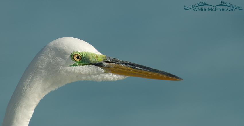 Great Egret close up