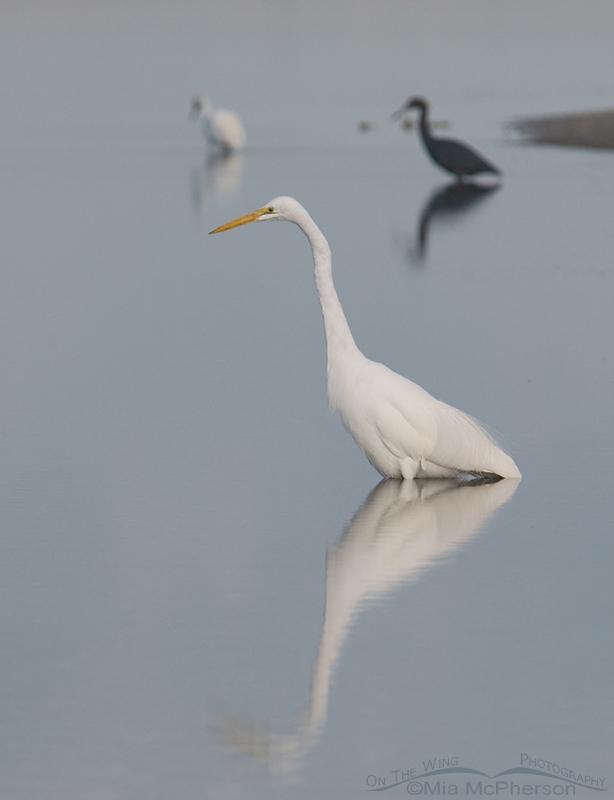 Great Egret in tidal lagoon