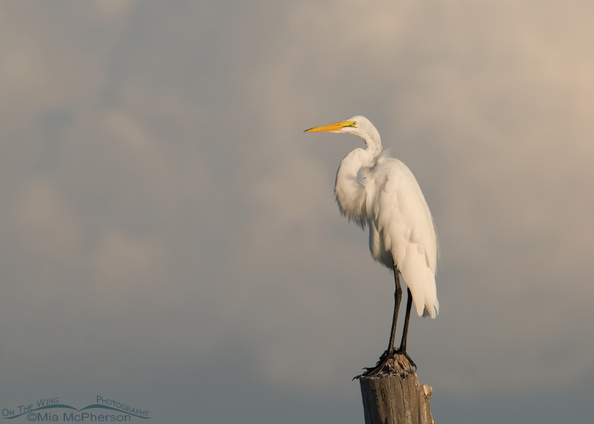 Great Egret on a stormy morning
