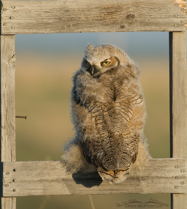 A fledgling Great Horned Owl