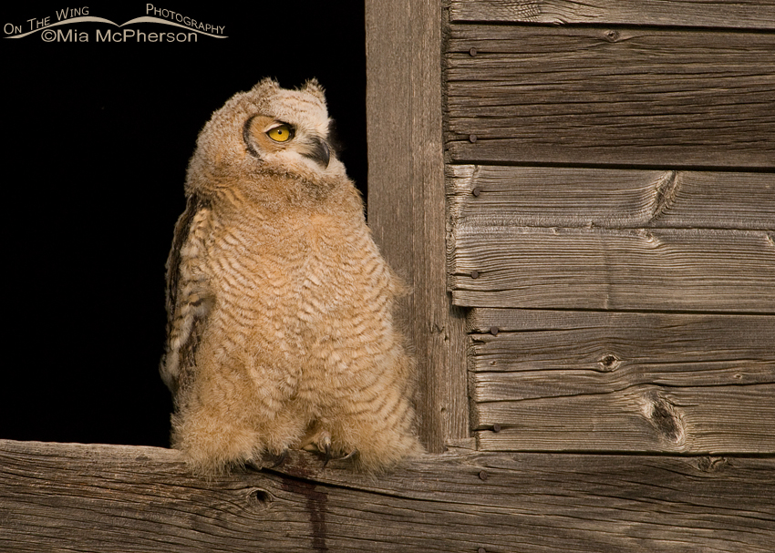 Great Horned Owl juvenile in granary window