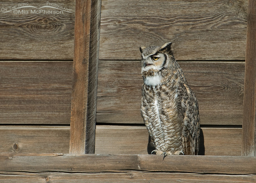 Great Horned Owl perched on an old Granary