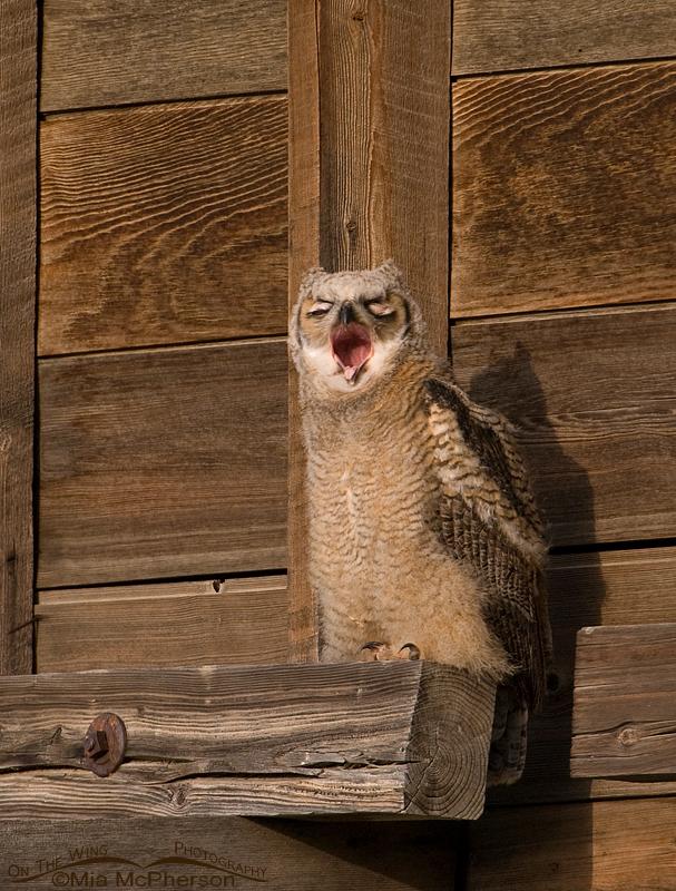 Great Horned Owl juvenile yawning