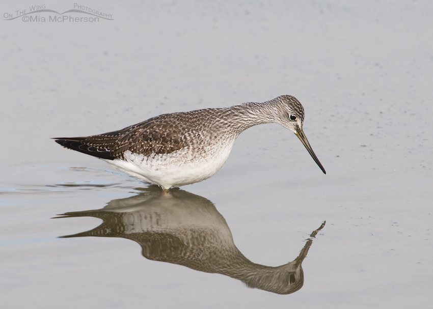 Greater Yellowlegs and distorted reflection