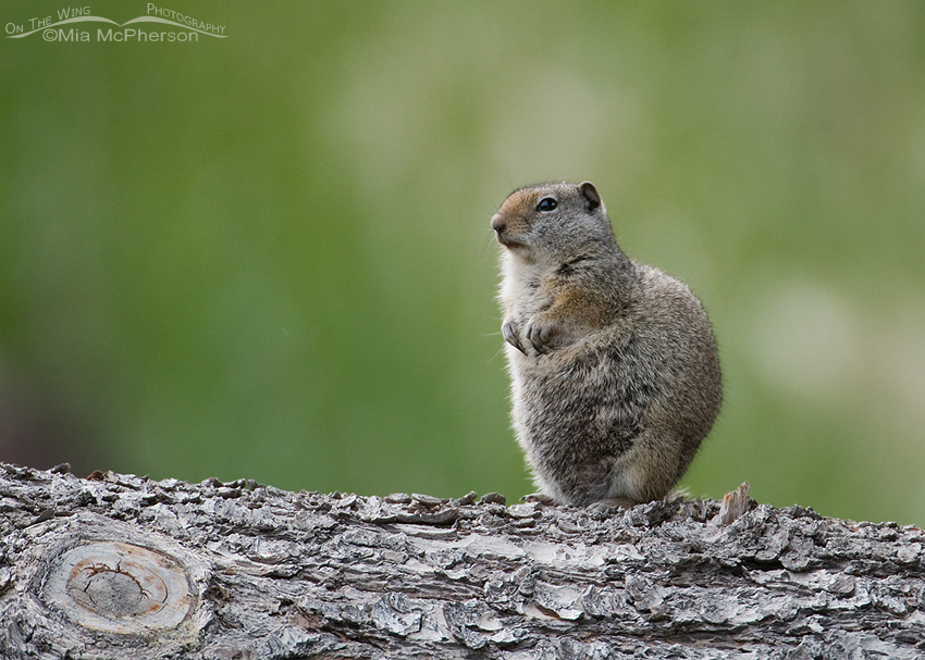 Ground Squirrel - Uinta perhaps?