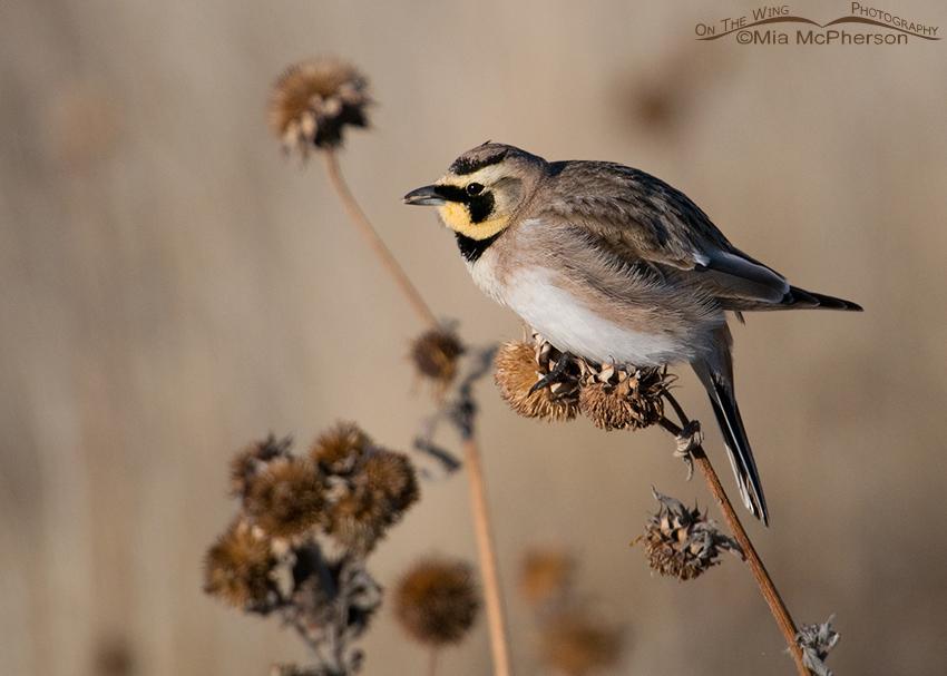 Male Horned Lark eating sunflower seeds