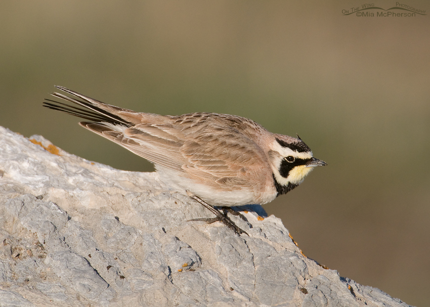 Male Horned Lark getting ready to take off