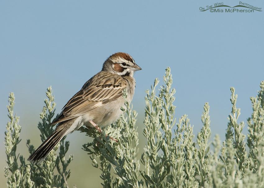 Lark Sparrow perched on Sagebrush