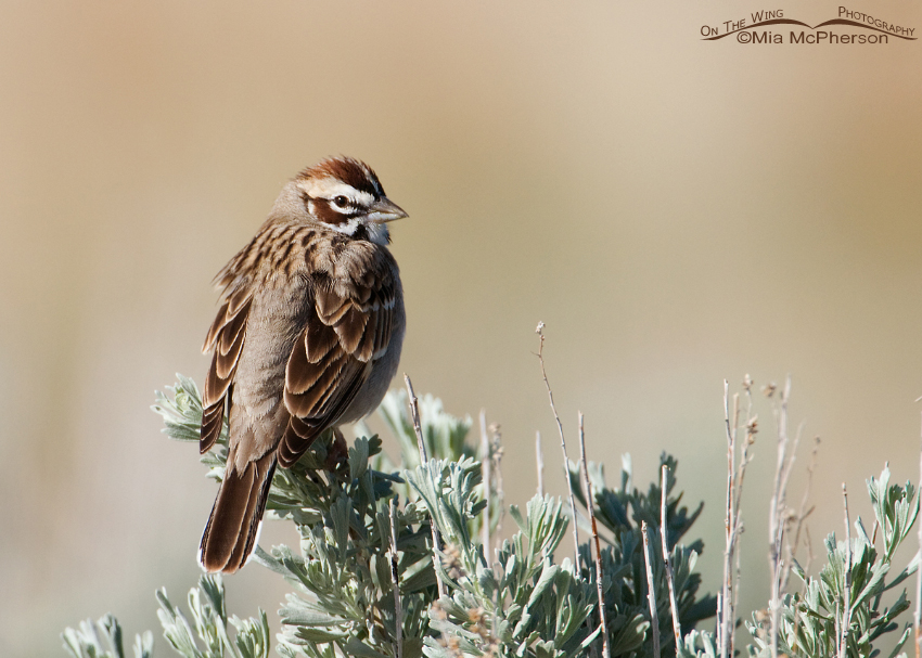 Perched Lark Sparrow