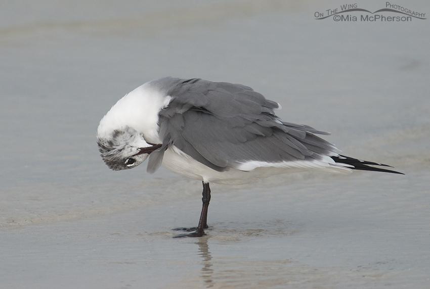 Preening Laughing Gull (Larus atricilla)