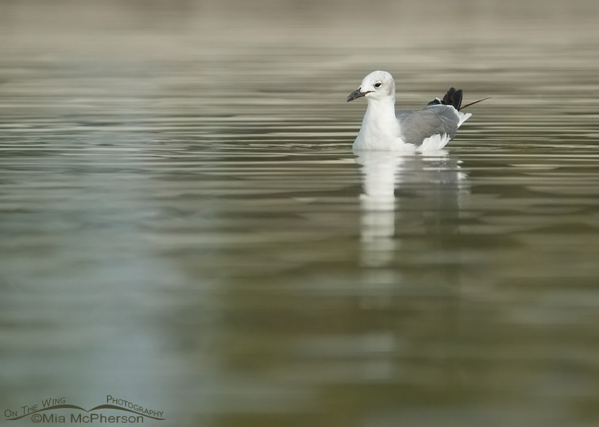 Laughing Gull in a quiet lagoon