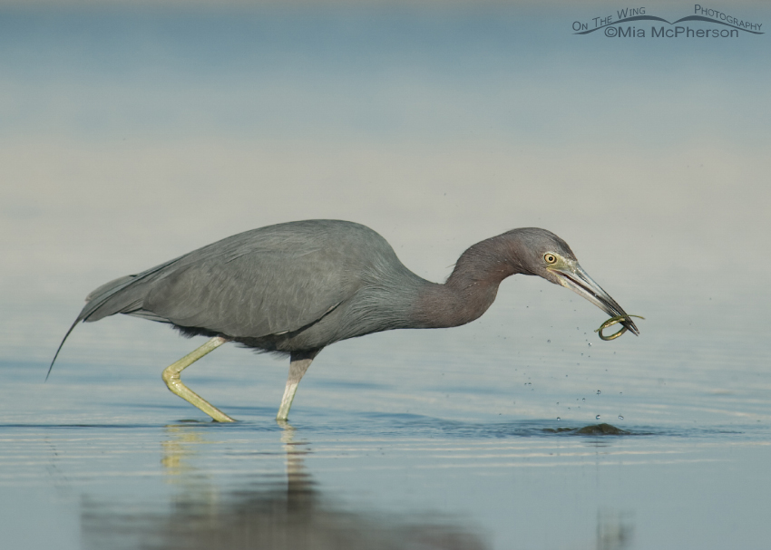 Little Blue Heron with a Pipefish