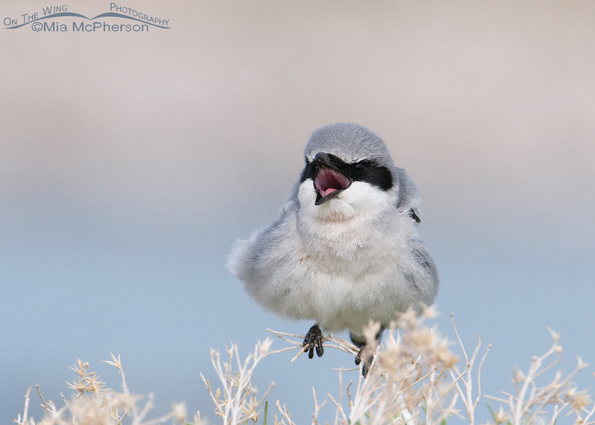 Loggerhead Shrike with its bill open