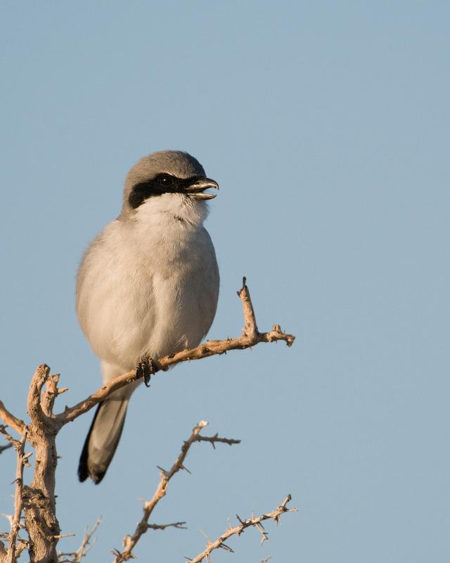 Loggerhead Shrike calling