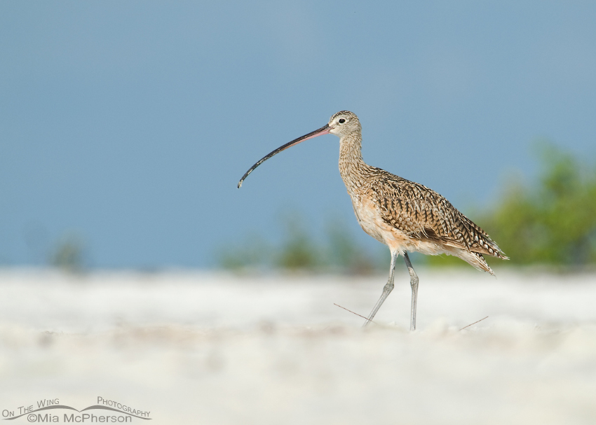 Long-billed Curlew on the beach at Fort De Soto