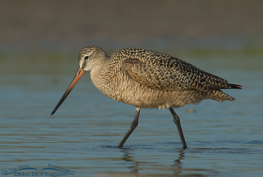 Marbled Godwit in a tidal pool