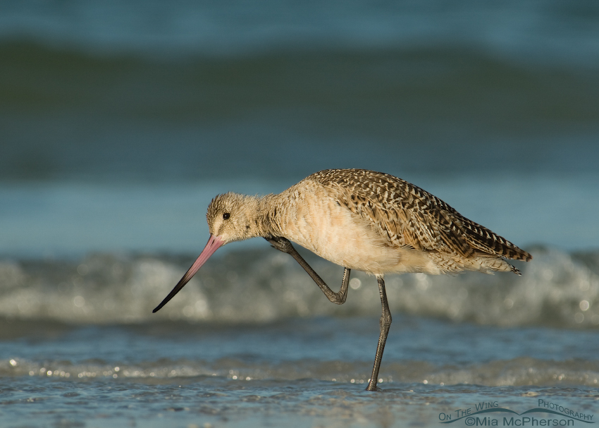 Marbled Godwit scratching