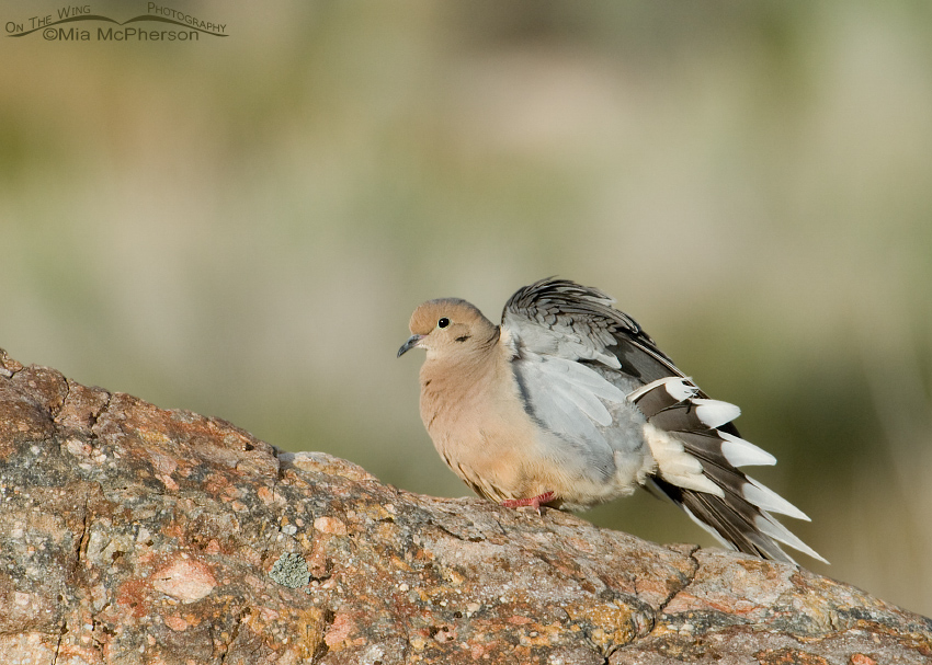 Mourning Dove stretching