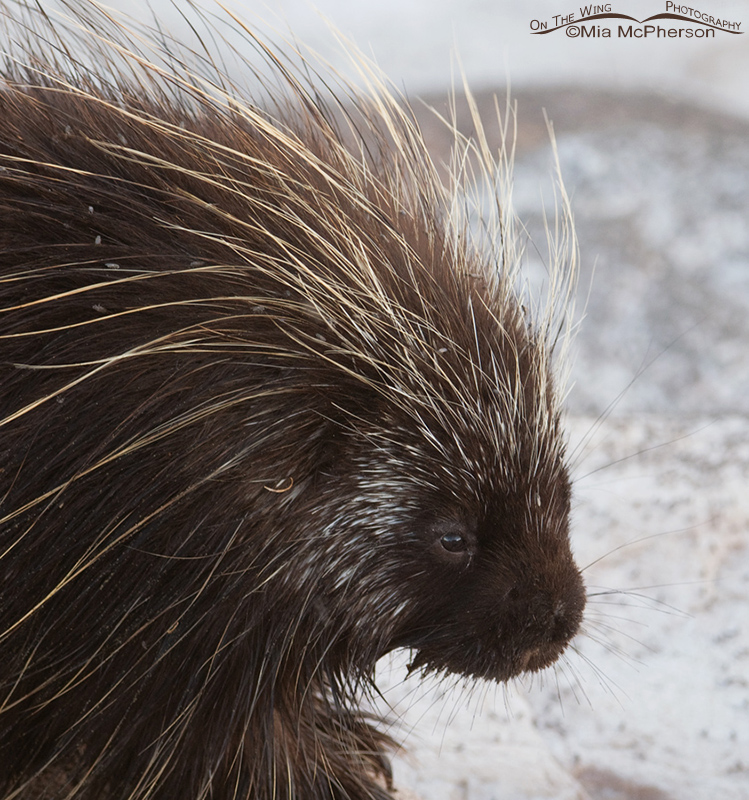 Close up of a North American Porcupine