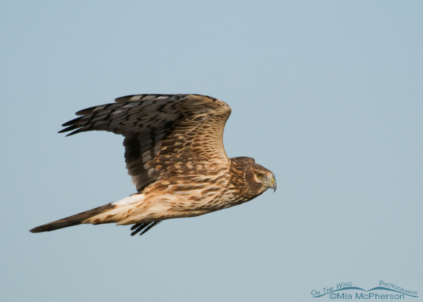 Female Northern Harrier in flight