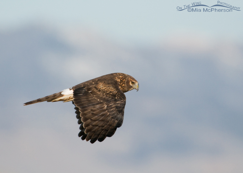 Female Northern Harrier with the Wasatch Range in the background