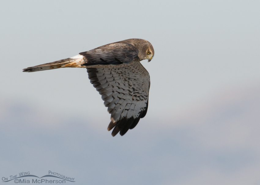 Male Northern Harrier in flight - Christmas Eve 2011