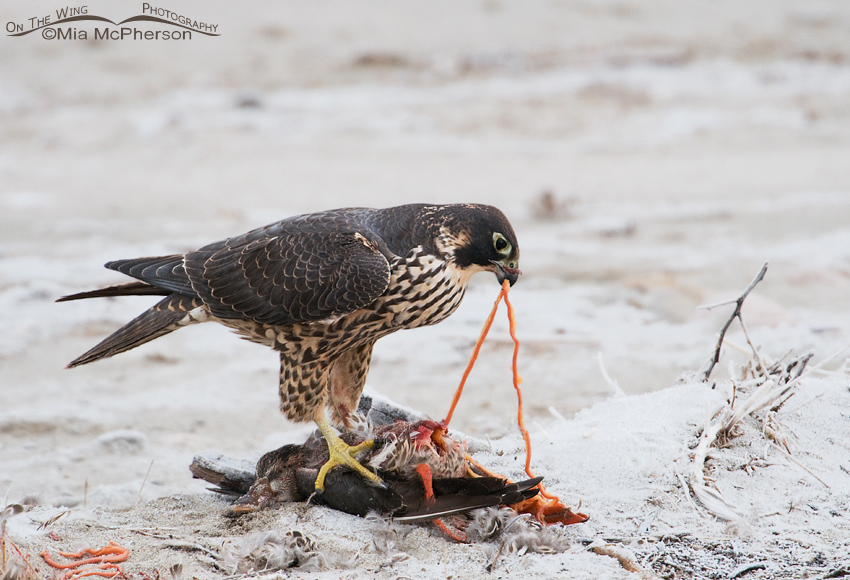 Peregrine Falcon removing intestines of its prey