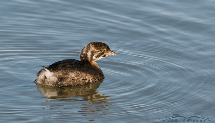Juvenile Pied-billed Grebe in morning light