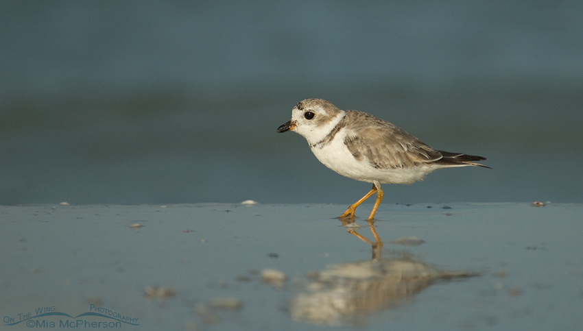 Piping Plover (Charadrius melodus) on the shore of the Gulf