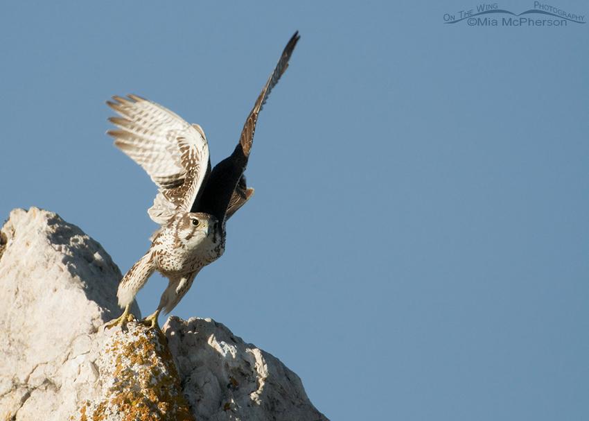 Prairie Falcon lift off #1