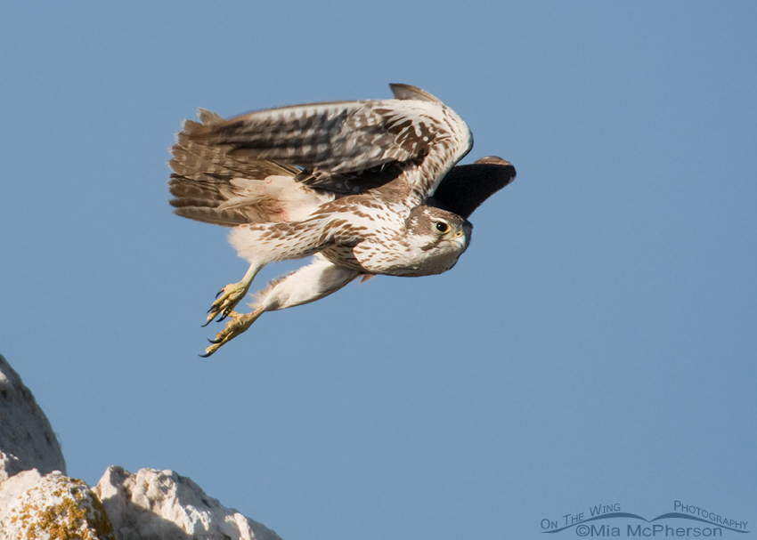 Prairie Falcon lift off #2
