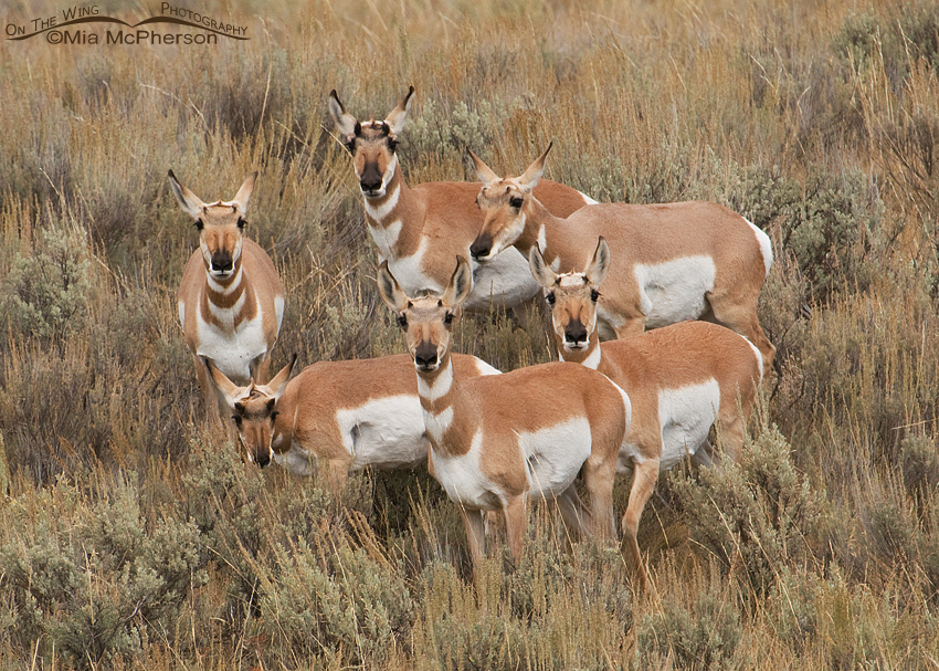 Circle of Pronghorn Does