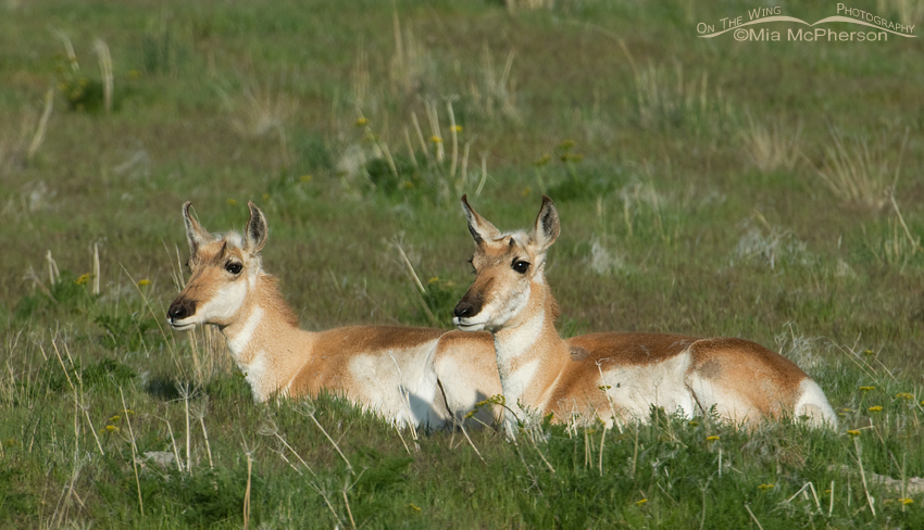 Pronghorn Does resting