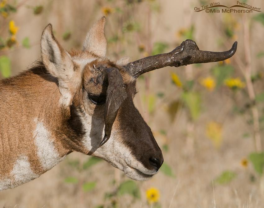 Pronghorn buck with misshapen horn
