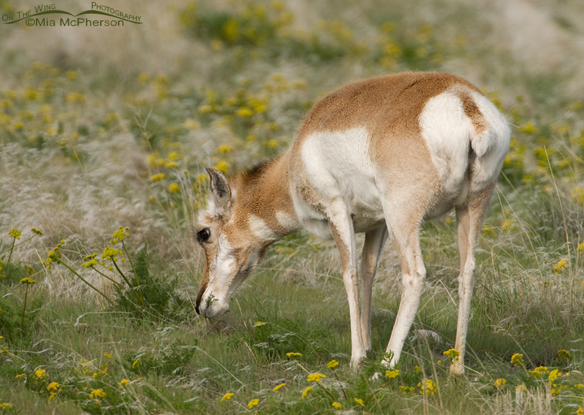 Pronghorn doe nibbling on Gray's Biscuitroot