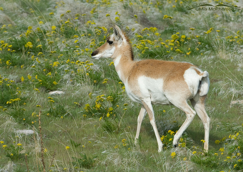 Pronghorn doe in Spring
