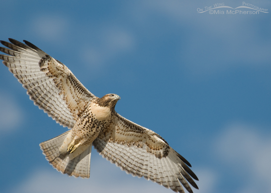 Clipped Red-tailed Hawk juvenile in flight