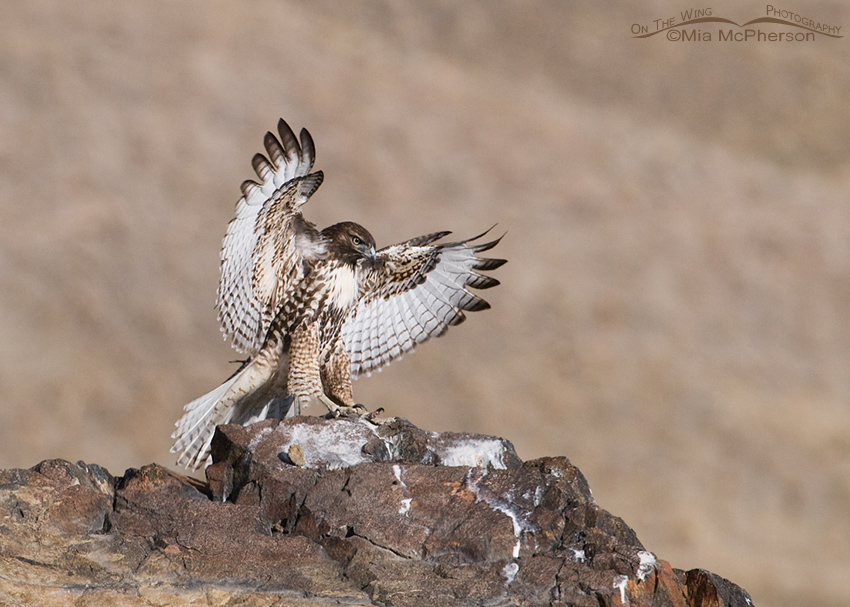 Red-tailed juvenile landing on a rock outcropping
