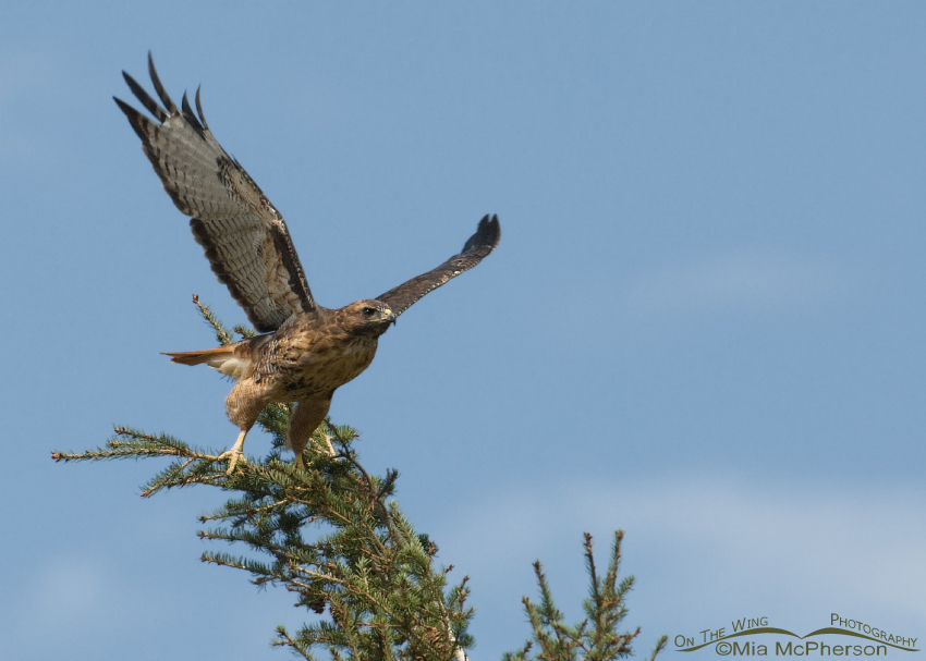 Red-tailed Hawk lifting off, just above Wade Lake, Montana