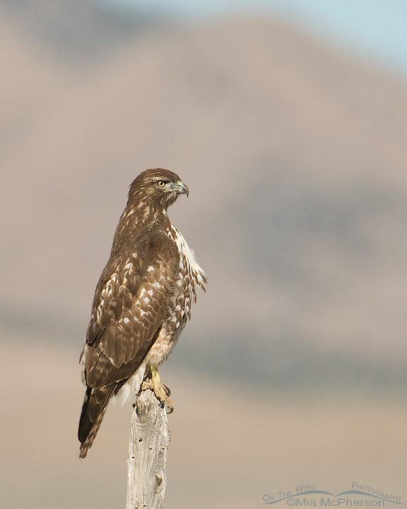 red-tailed-hawk-perched-mia-mcpherson-3408