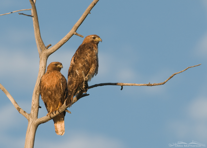 A pair of Red-tailed Hawks in morning light