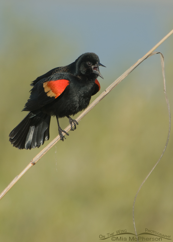 Red-winged Blackbird male singing