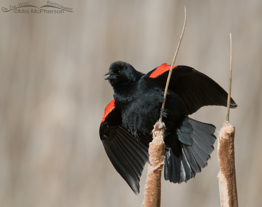 Male Red-winged Blackbird singing on cattails