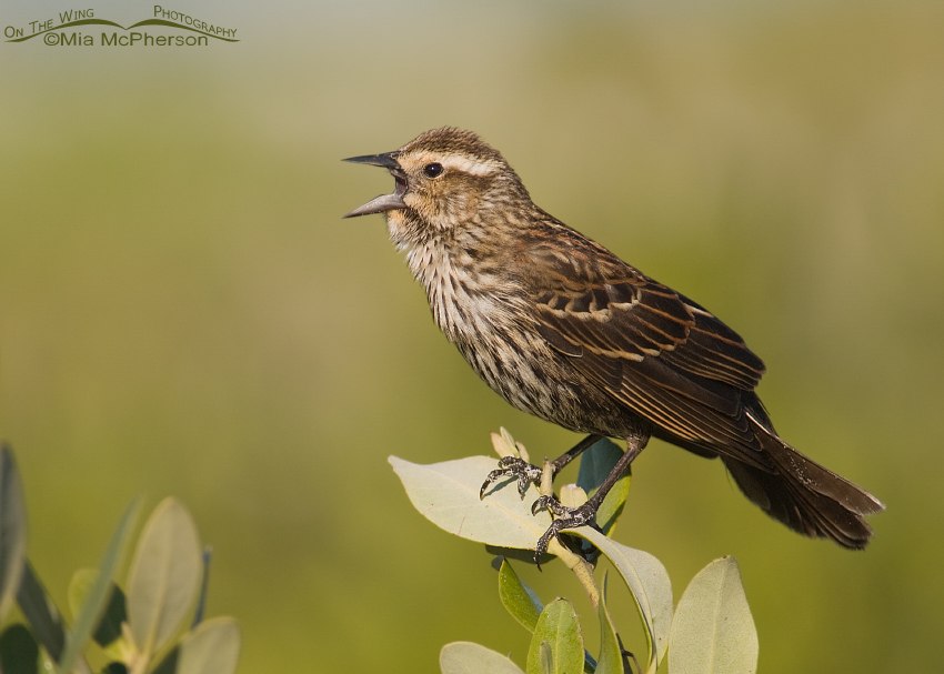 Juvenile male Red-winged Blackbird singing