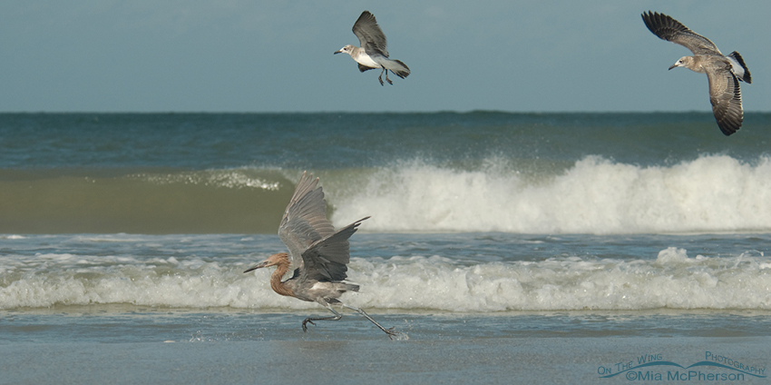 Reddish Egret being shadowed by Laughing Gulls