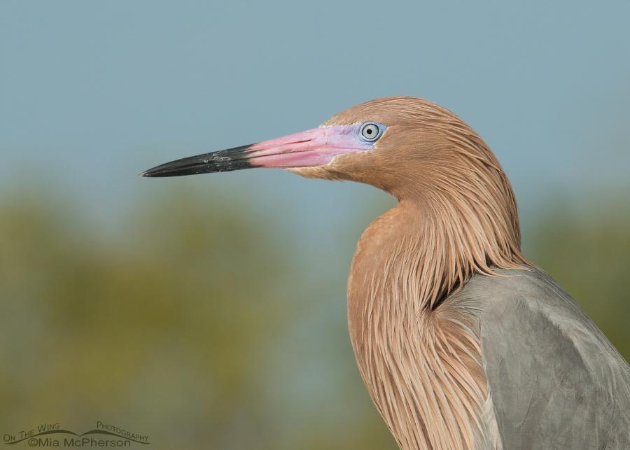 reddish-egret-portrait-mia-mcpherson-0511