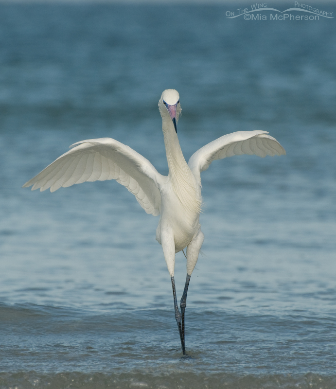 White Morph of Reddish Egret -  a Ballet Pose
