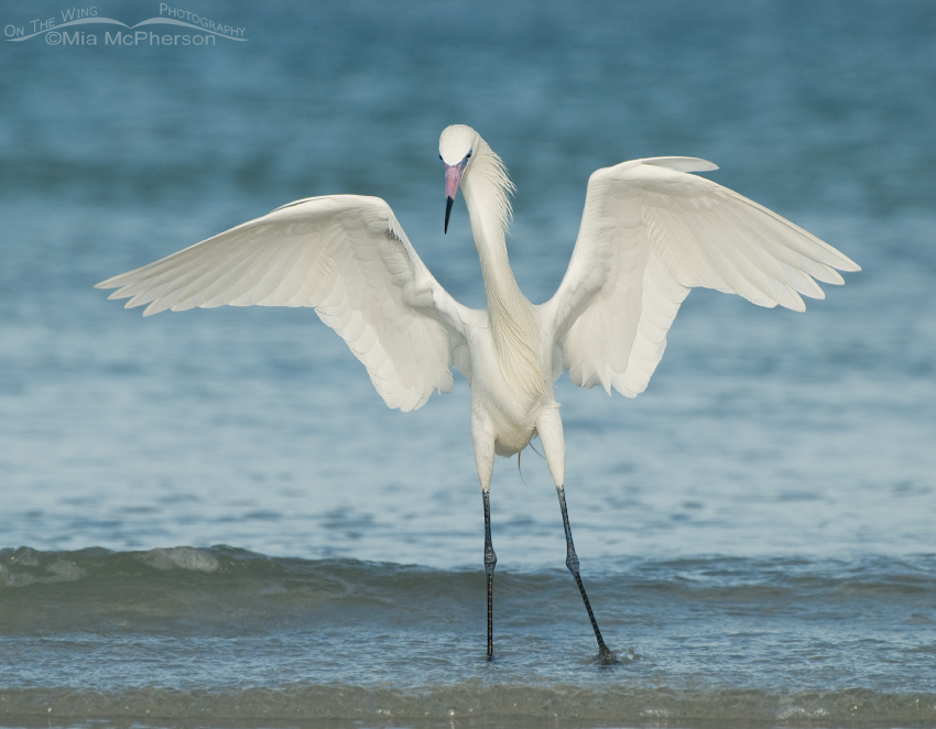 White Morph of Reddish Egret - The Dancer